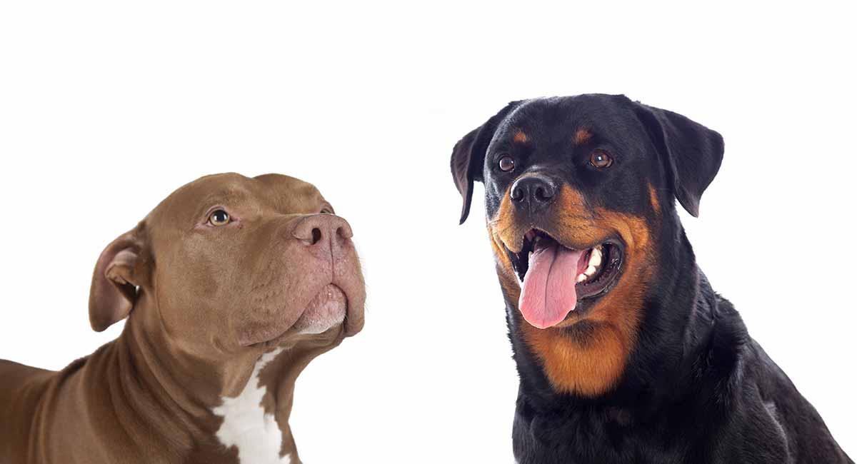 Rottweiler Pitbull Mix - herrlicher Wachhund oder perfektes Haustier