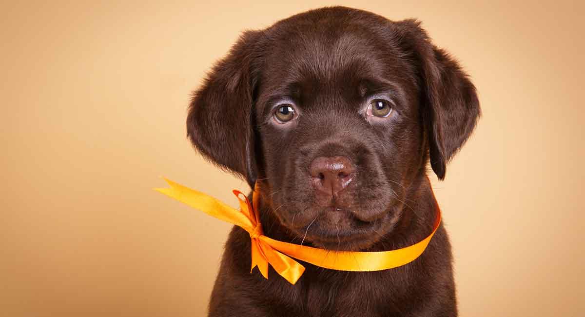 Chocolate Labrador - Wissenswertes über Ihren Lieblingshund