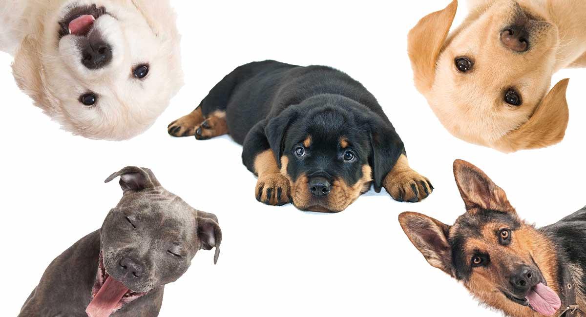 Rottweiler Mix - Die beliebtesten Rottie Cross Breeds