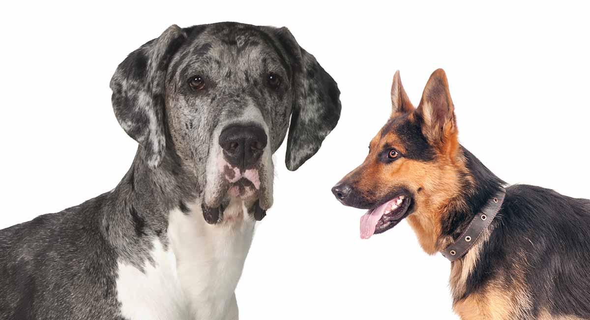 Deutsche Schäferhund-Mischung Deutsche Dogge - ist dieser der rechte Hund für Sie?