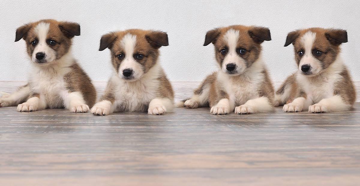 Wo kaufe ich einen Hund oder einen Welpen?