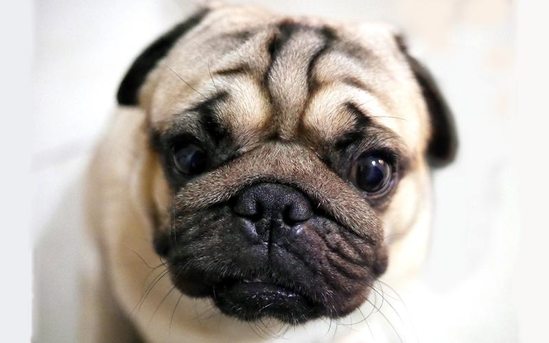 Hunde mit Falten: Ein Leitfaden für die Pflege von runzeligen Hunden