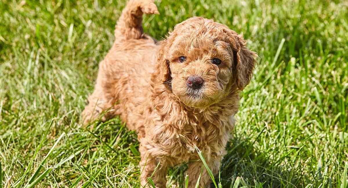Mini Goldendoodle - eine kleine entzückende Mischung