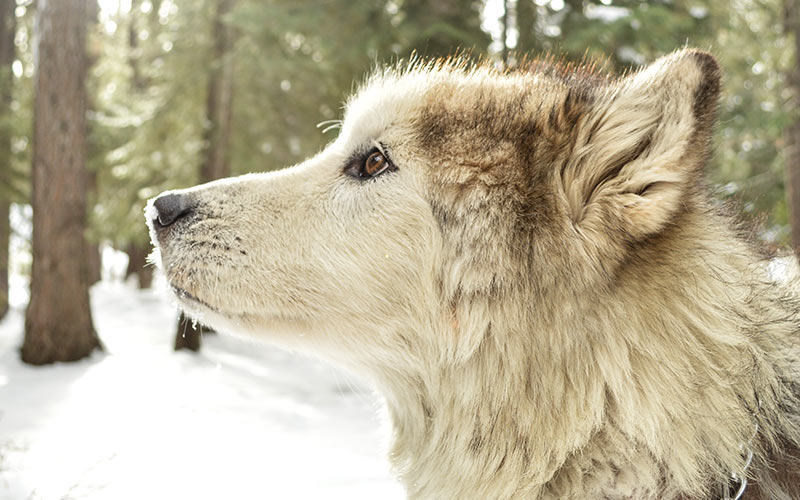 Hunde, die wie Wölfe aussehen