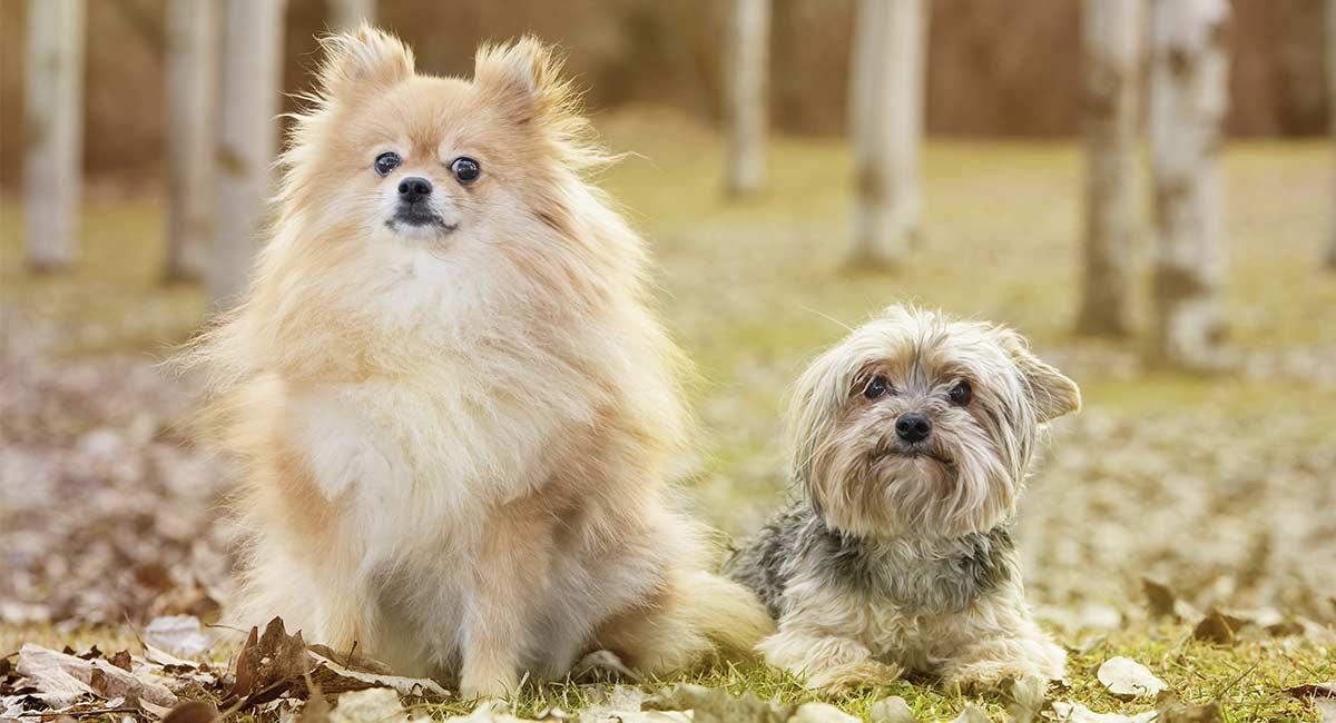 Pom Terrier - Pomeranian Terrier Mischling