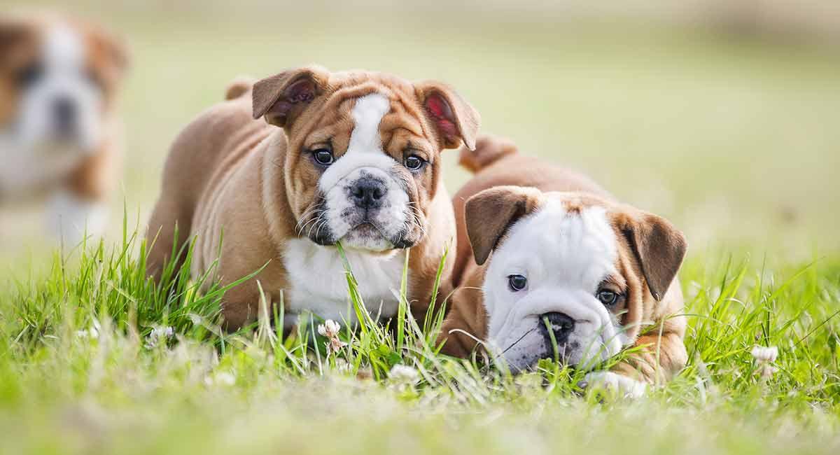 Wie lange leben englische Bulldoggen?