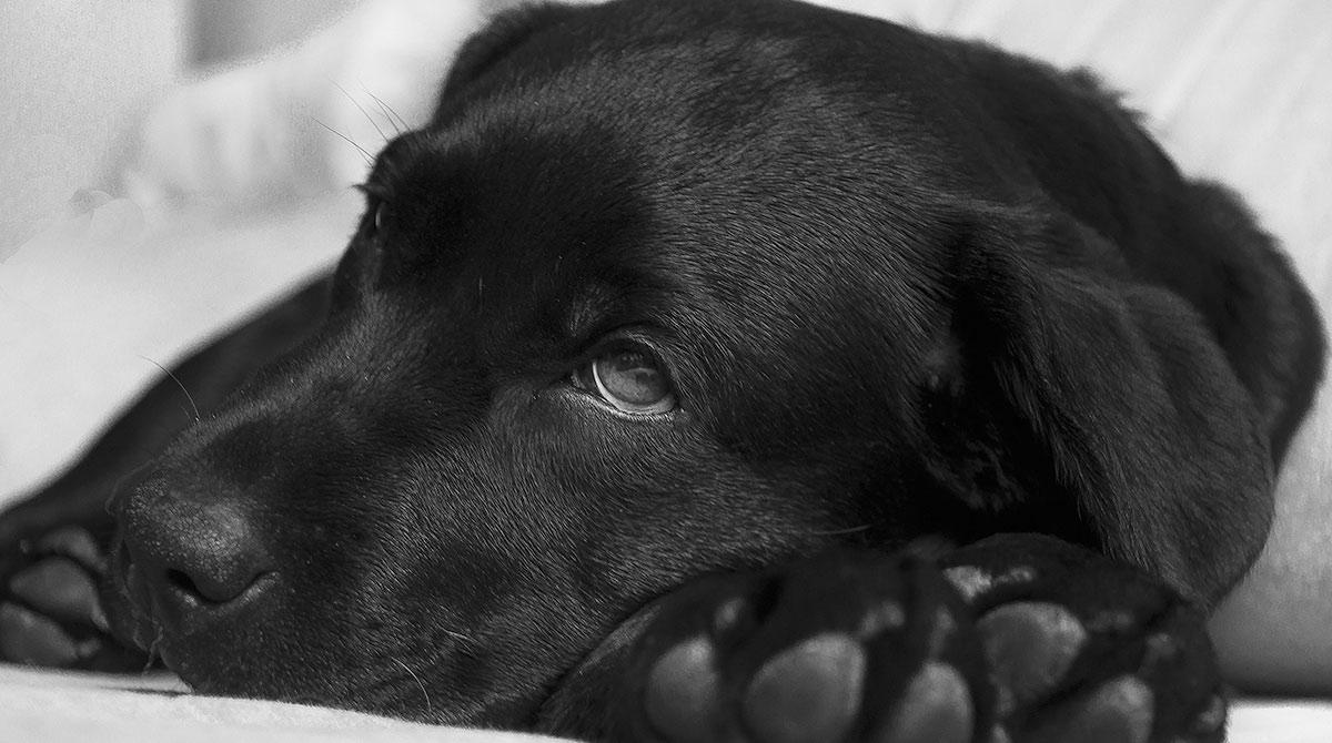 Hundegrippe: Symptome und Behandlung von Influenza bei Hunden
