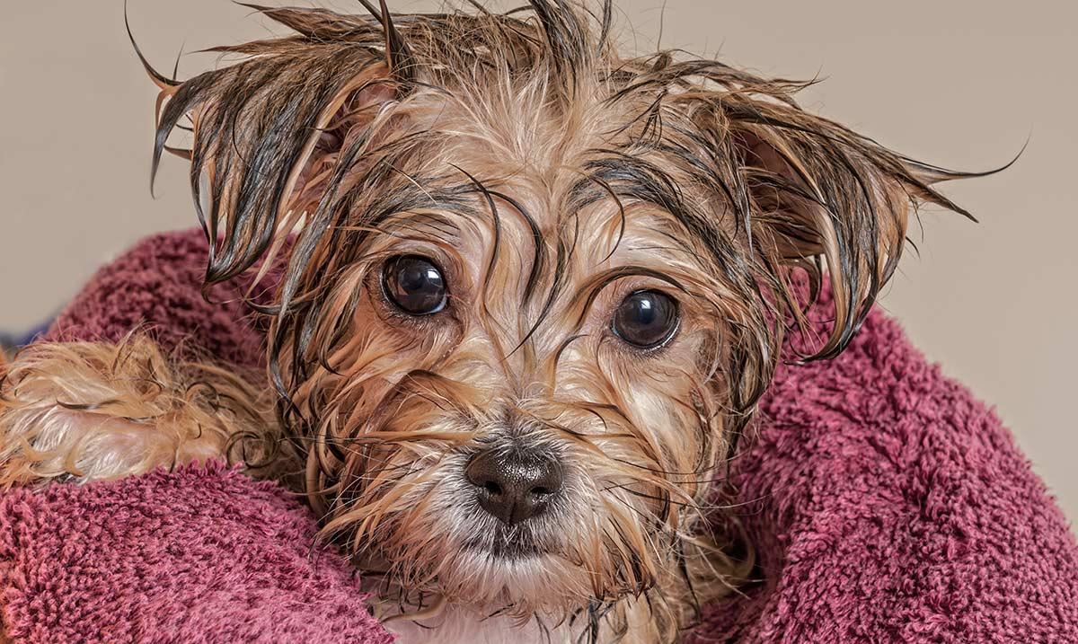 Puppy Bath Time: Wann und wie man einen Welpen baden kann