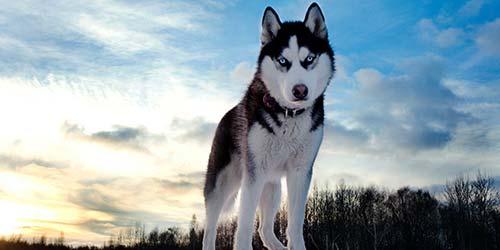 Husky Dog Names - 85+ Große Namen für Ihren Husky