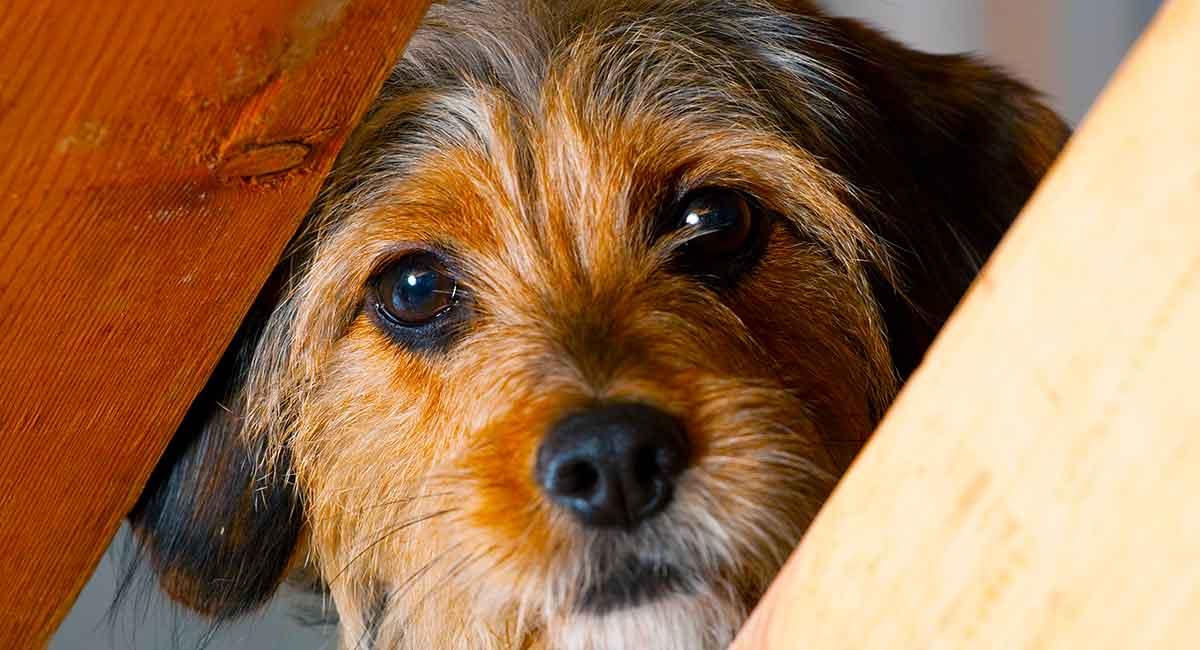 Beagle Yorkie Mix - Treffen Sie den Borkie