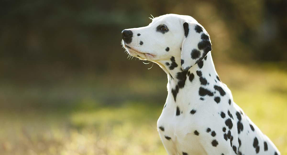 Dalmatiner: Ihr kompletter Leitfaden für eine auffallend schöne Rasse