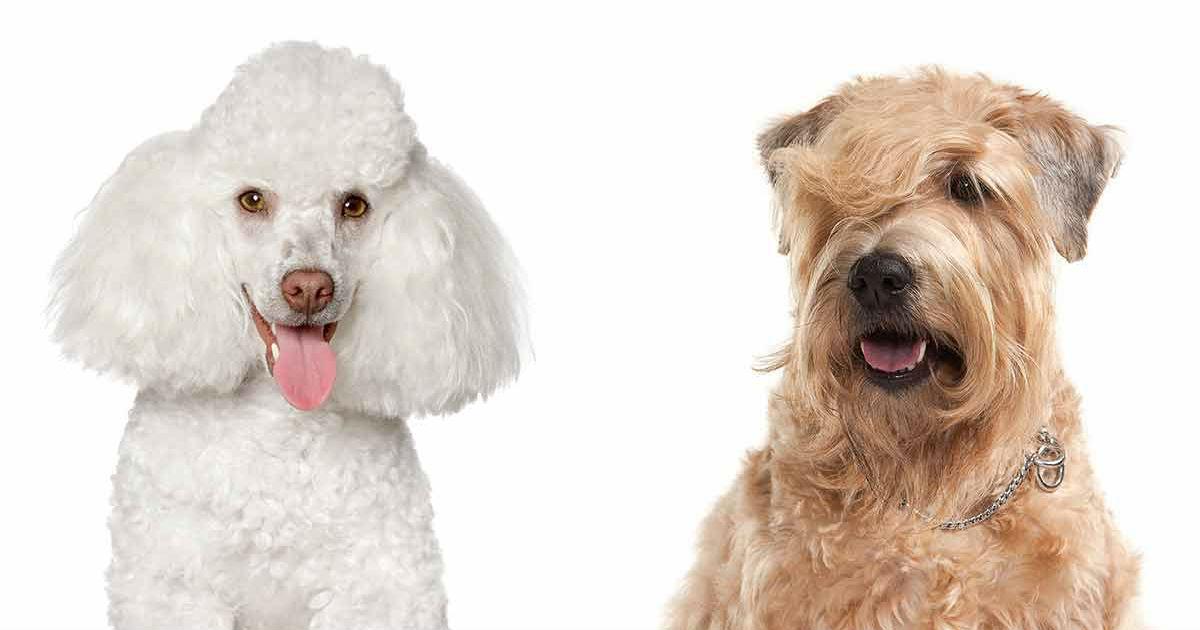 Whoodle: Eine weiche Pudelmischung aus Wheaten Terrier