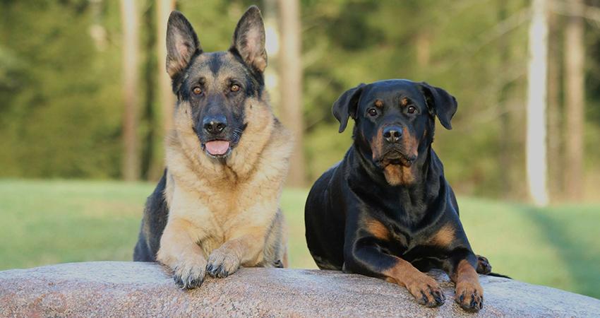 Deutscher Schäferhund Rottweiler Mix