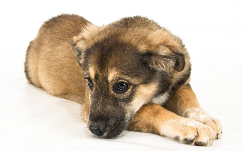 Lernen Sie den Golden Retriever German Shepherd Mix kennen