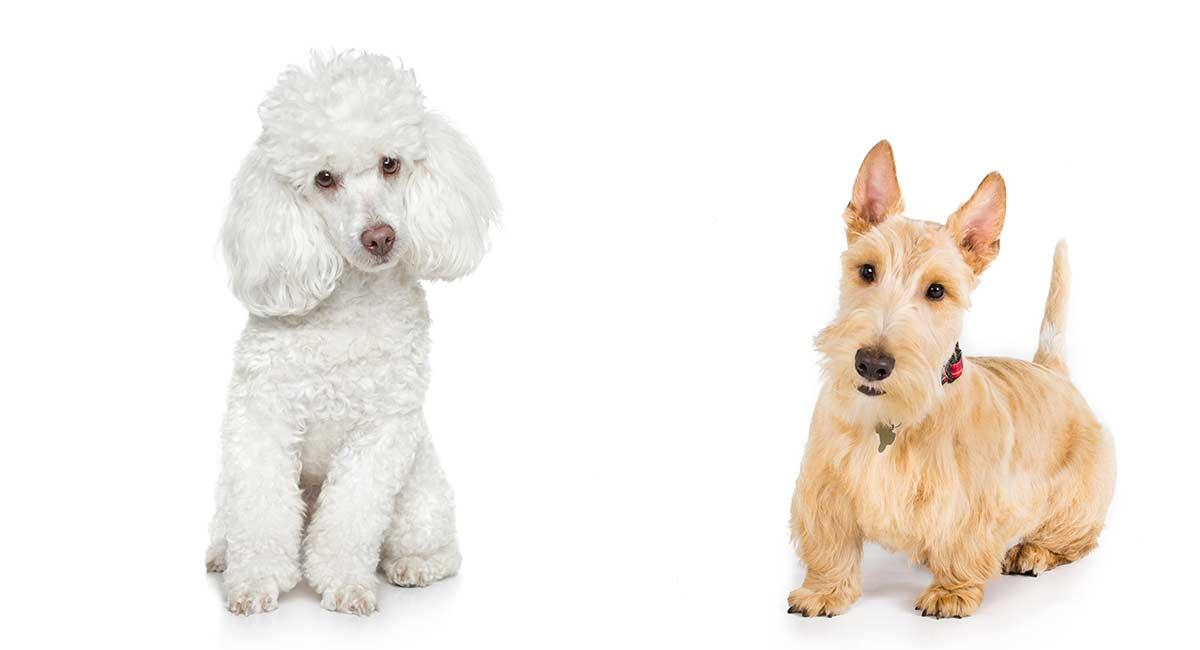 Scoodle oder Scottie Poo - die schottische Terrier-Pudelmischung