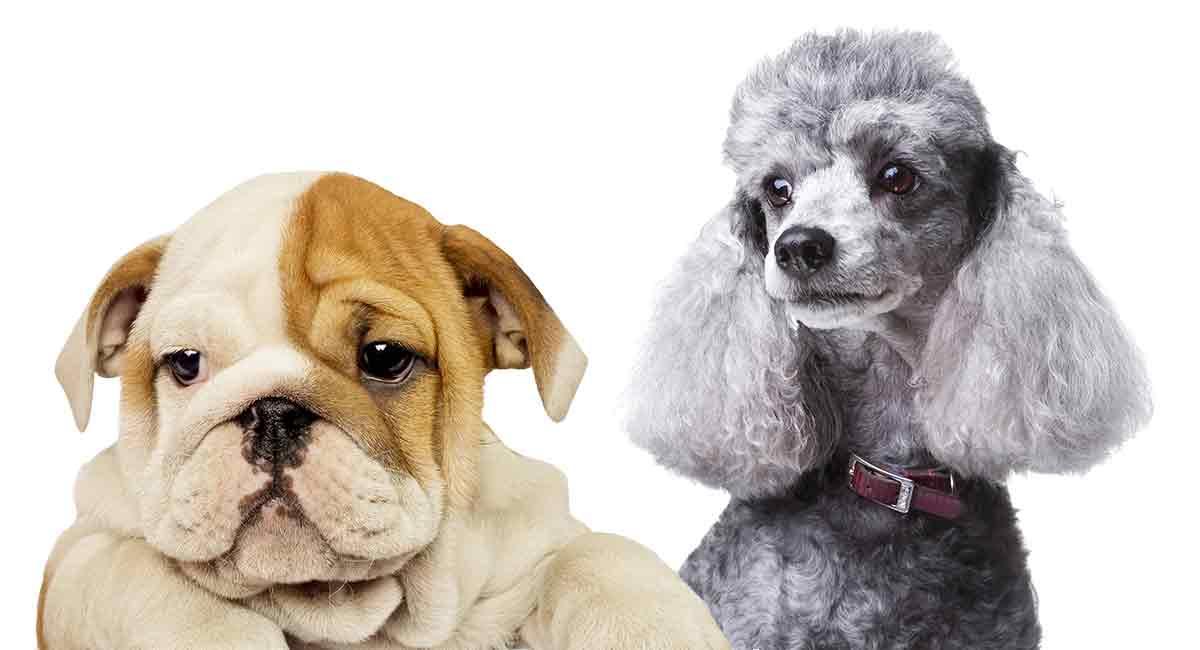 Bulldogge-Pudel-Mischung - das englische Bulldogge-Pudel-Kreuz