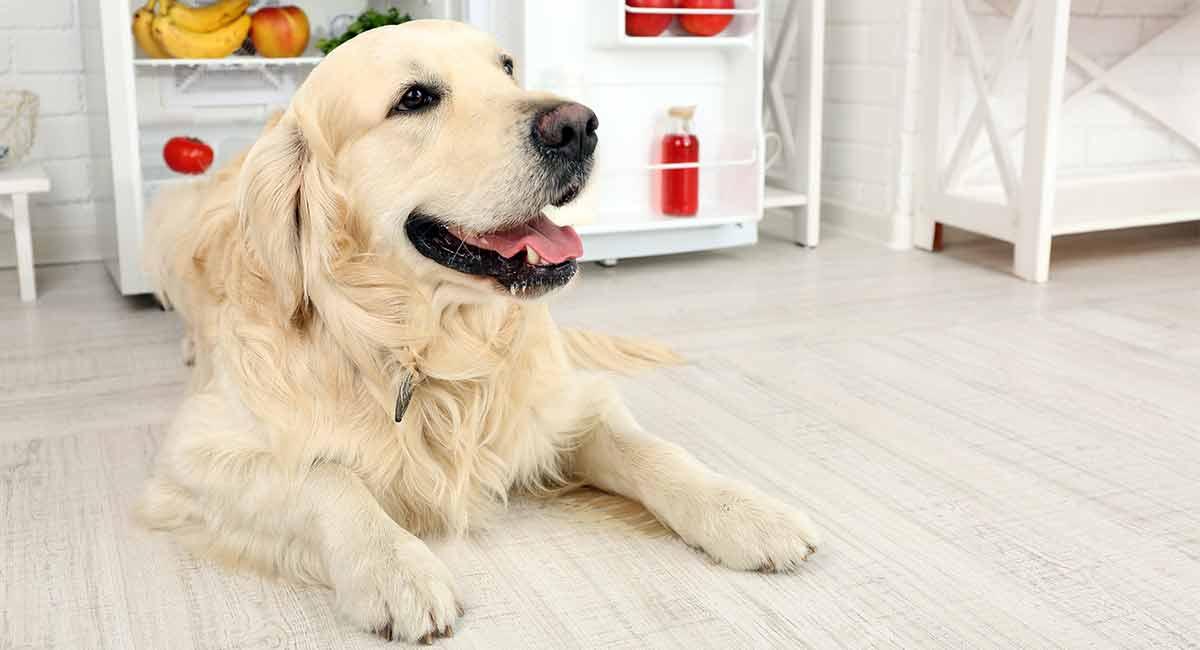 Bestes Hundefutter für Golden Retriever