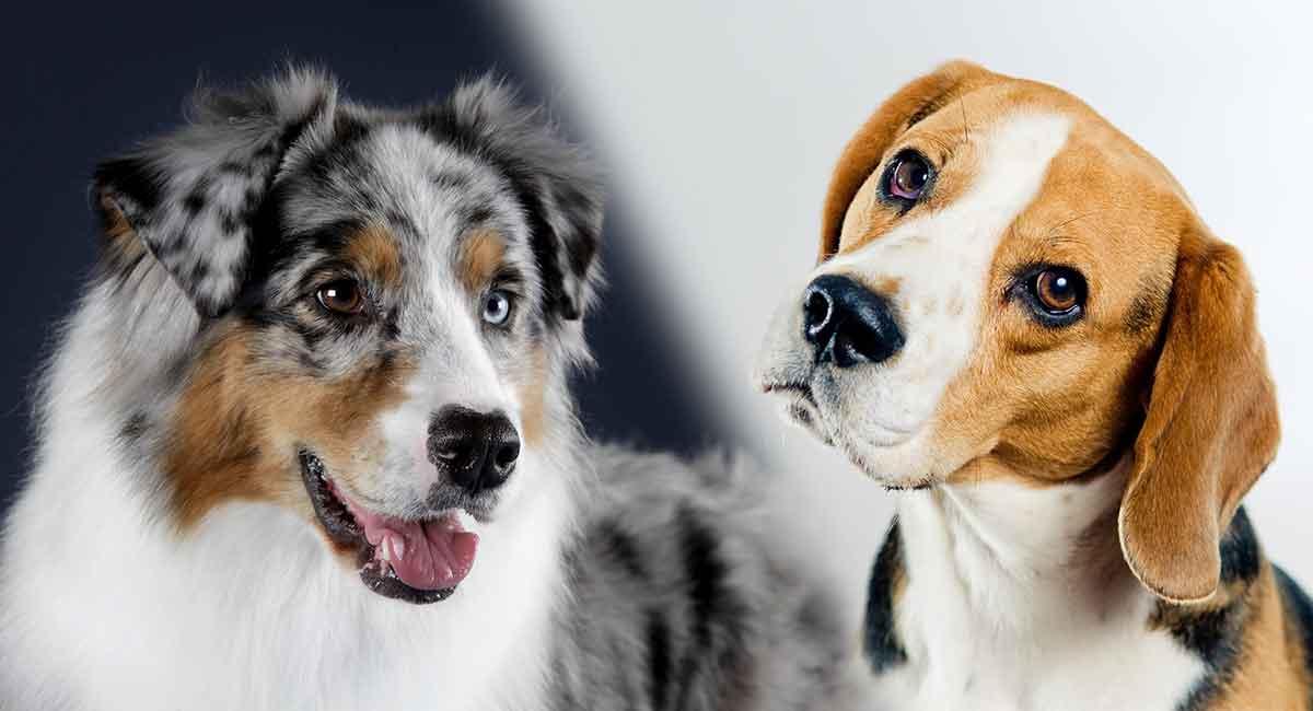 Australian Shepherd Beagle Mix - Könnte dies der neue Hund für Sie und Ihre Familie sein?