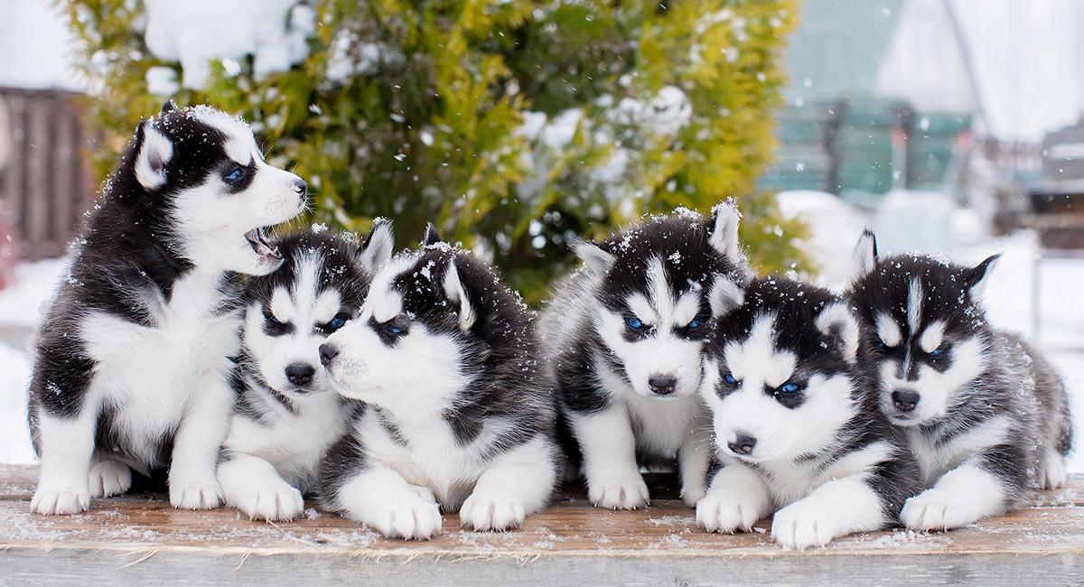 Bilder von Huskies