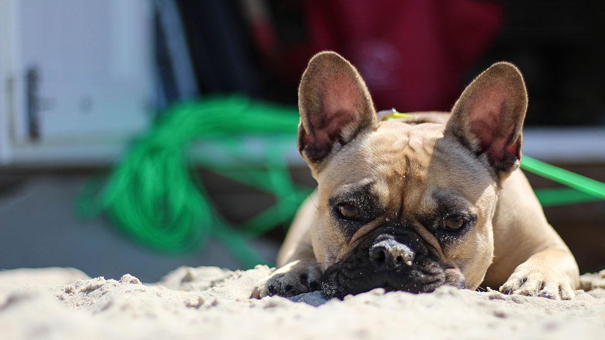 Brachyzephalie bei Hunden: Was bedeutet es, ein Brachycephalic-Welpe zu sein?