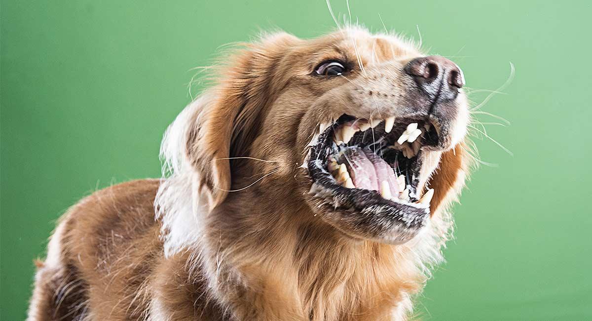 Nahrungsmittelaggression bei Hunden: Ursachen und Heilung