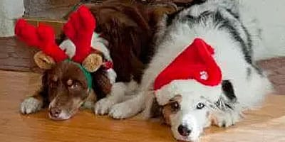 Gastgeber der Feiertage? Tipps für gutes Hundeverhalten