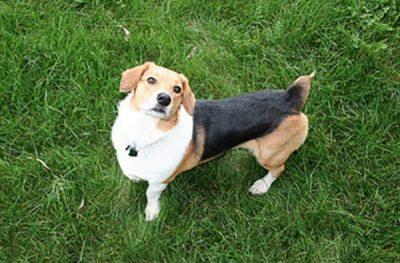 Kurz und süß: Triff die Corgi Beagle Mix