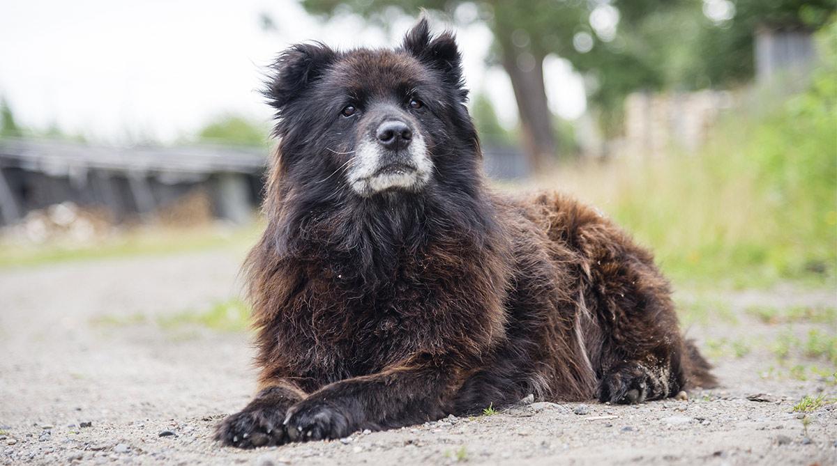 Russischer Bärenhund - Die kaukasische Hirtenzucht
