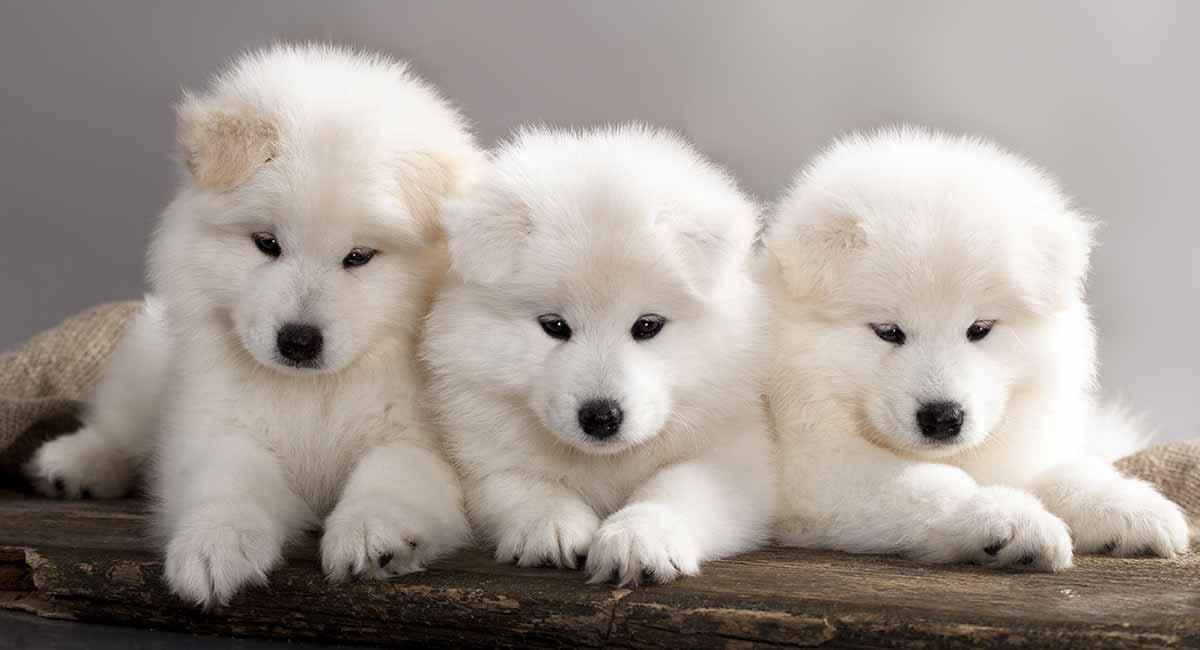 Samojede - Der weiße Wolf der Hundewelt