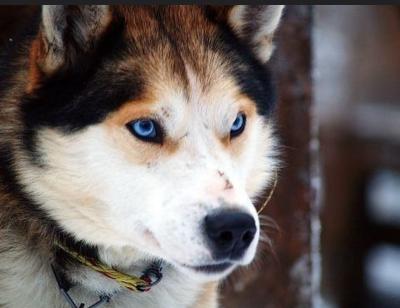 Deutscher Schäferhund Husky Mix - ein starker und auffälliger Hund