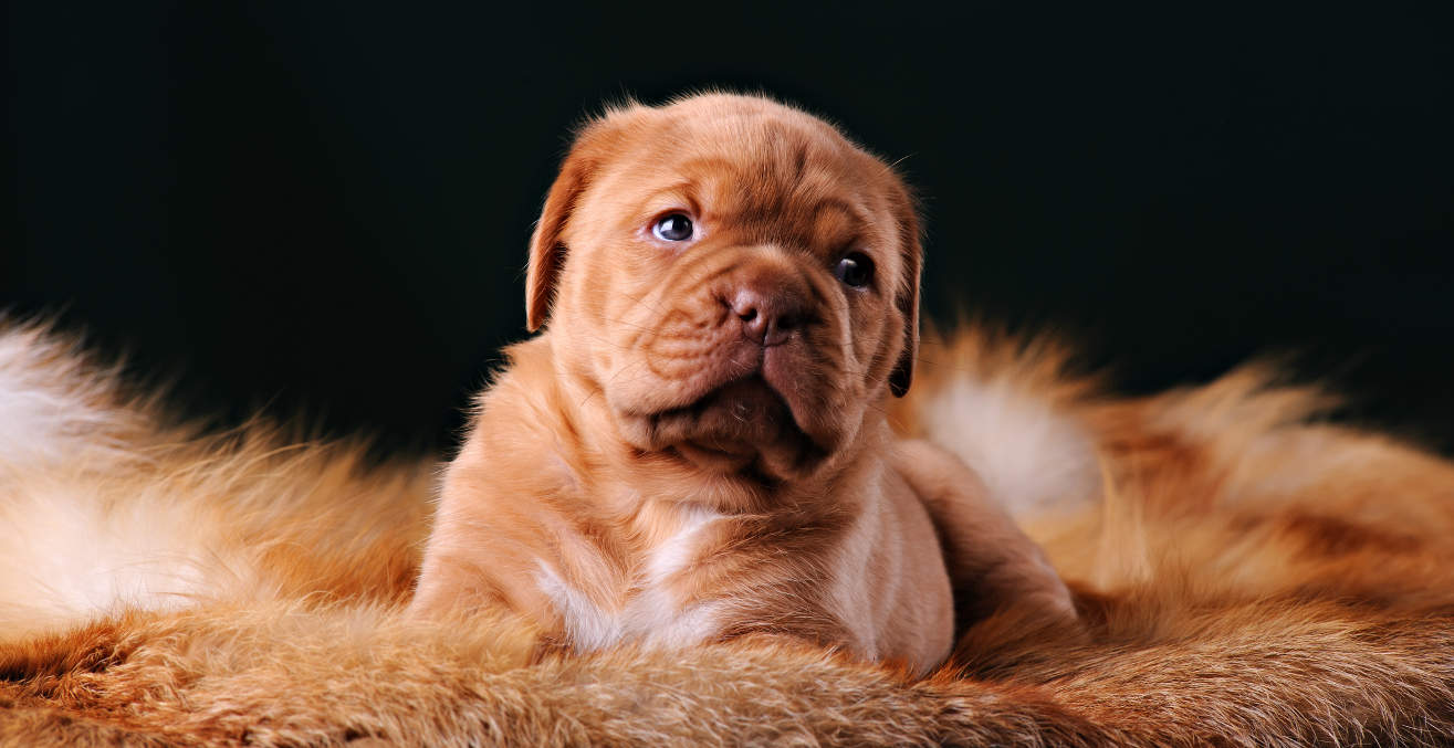 Die Dogue de Bordeaux