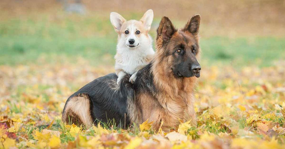Deutscher Schäferhund-Corgi-Mix: Verrücktes Kreuz oder gewinnende Kombination?