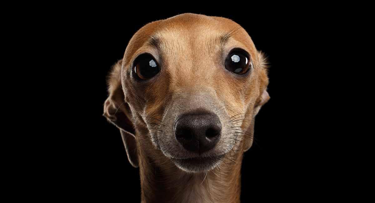 Italienischer Windhund - eine schnelle kleine Hunderasse