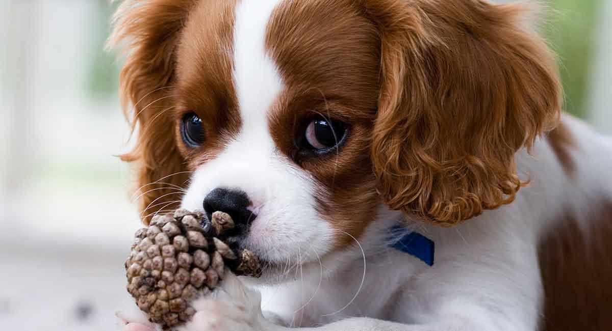 King Charles Spaniel: Ist dieser freundliche Hund Ihr perfektes Haustier?