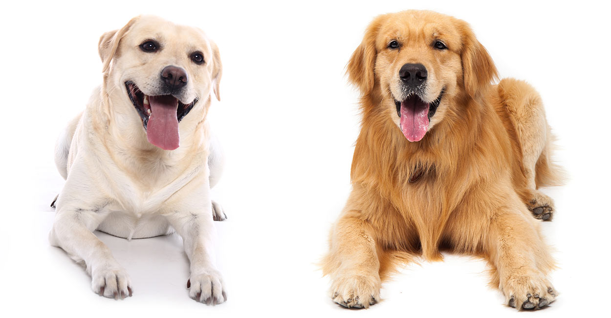 Labrador Retriever gegen Golden Retriever