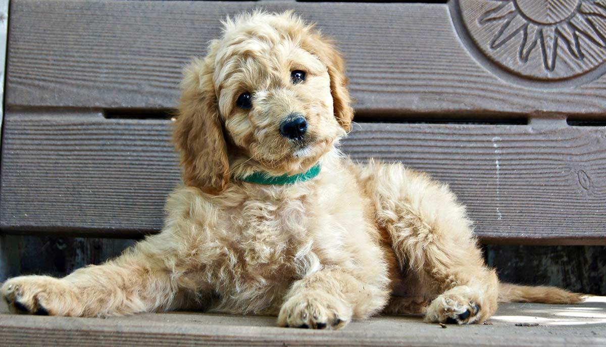 Dog Temperament - Wahl eines freundlichen Welpen