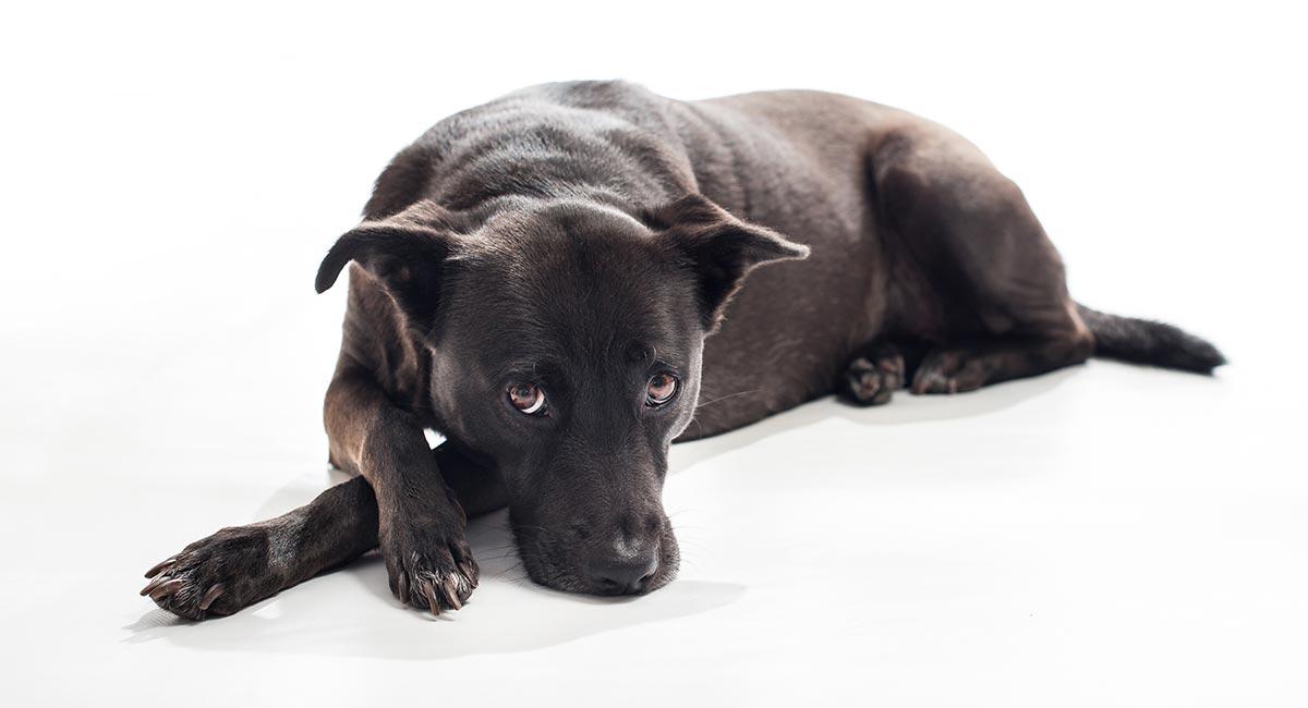 Nukleare Sklerose bei Hunden - Was bedeutet das für Ihr Haustier?