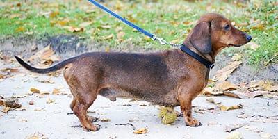 Dackel-Namen - 150+ Awesome Wiener Dog Names