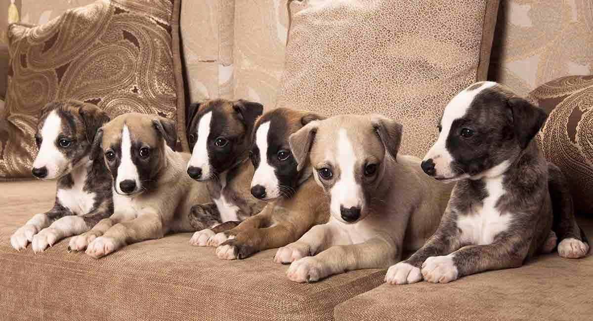 Gesündeste Hunderassen: Ist Ihr Welpe das Stärkste im Rudel?