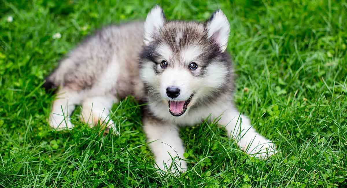 Miniatur Husky - Ist dies der richtige Hund für Ihre Familie?