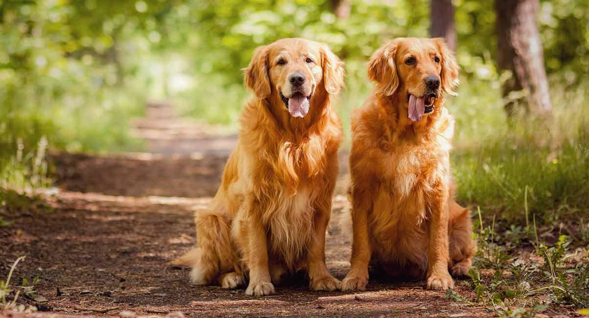 Golden Retriever History - Die Ursprünge und die Rolle einer populären Hunderasse