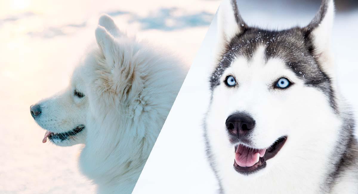 Huskimo - Der sibirische Husky und der amerikanische Eskimo-Mix