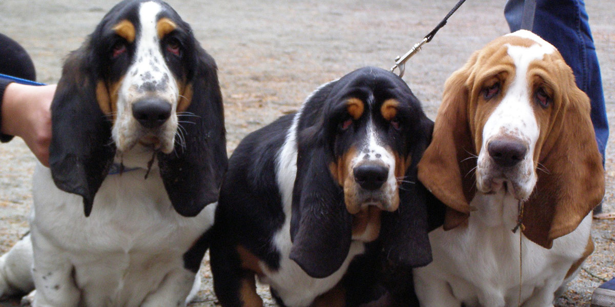 Droopy Eye Dog - Ein Leitfaden für Ektropium Ein häufiges Augenlid-Problem bei Hunden