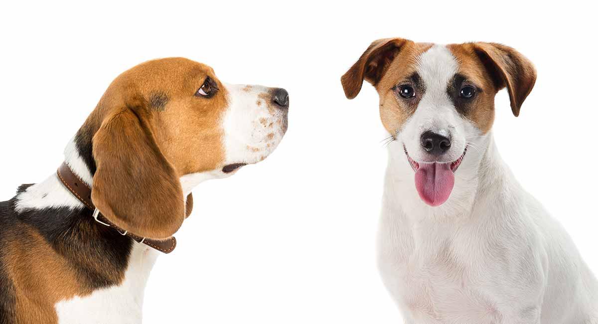 Jack Russell Beagle Mix - ist diese energetische Rasse für Sie?