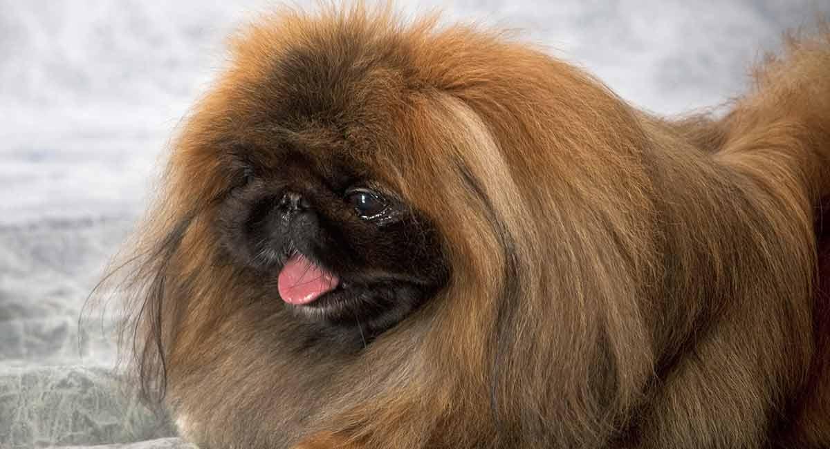Pekingese - Der Königliche Schoßhund