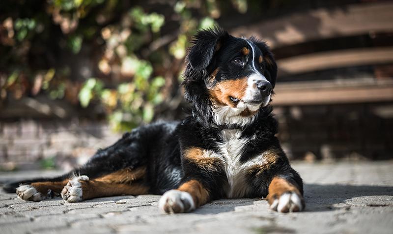 Berner Sennenhund Preis - Wie viel kostet dieser große und liebenswerte Welpe?