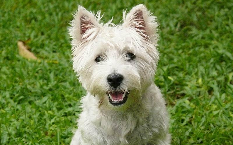 The Westie - Ein Führer zum West Highland White Terrier