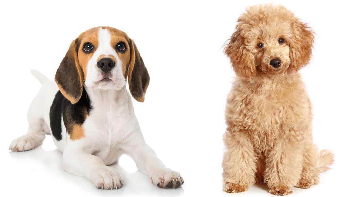 Poogle - Die intelligente und neugierige Beagle-Pudelmischung