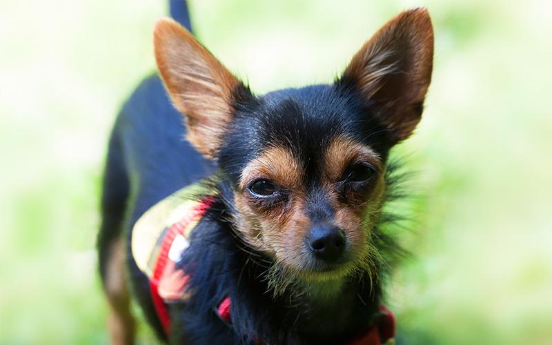 The Chorkie - Eine Mischlingszucht von Chihuahua Yorkshire Terrier