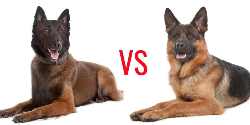 Belgischer Malinois gegen Deutschen Schäferhund